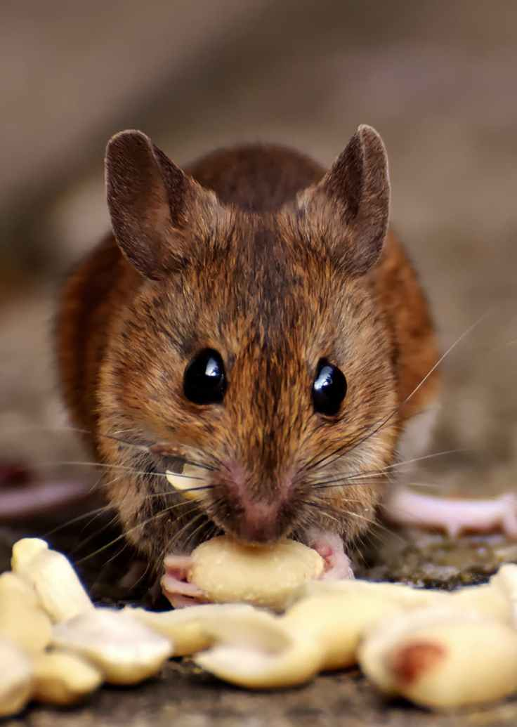 brown rat eating food